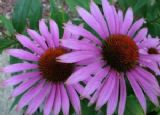 Coneflower (Echinacea) seeds - FREE POST